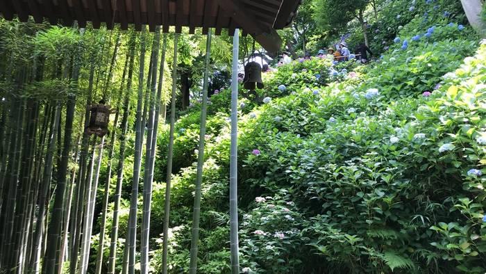 竹林と紫陽花その2